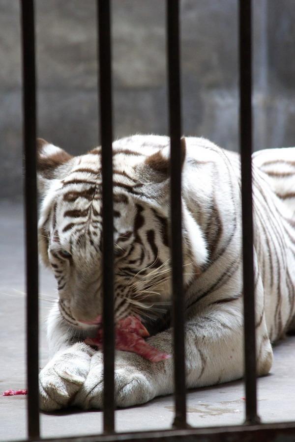 北京动物园狮虎山---投喂食物的镜头